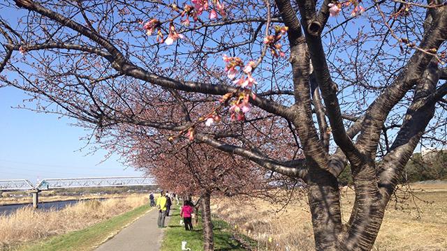 【ロードバイクで白くま】サイクリングロードに桜咲く